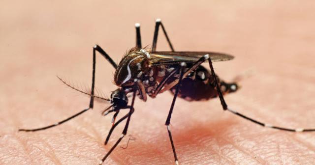 डेंगू मच्छर