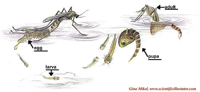 डेंगू मच्छर का जीवन चक्र