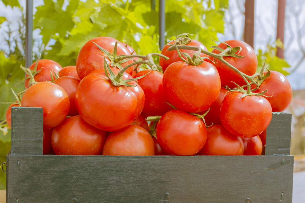 Tamatar Tomato टमाटर