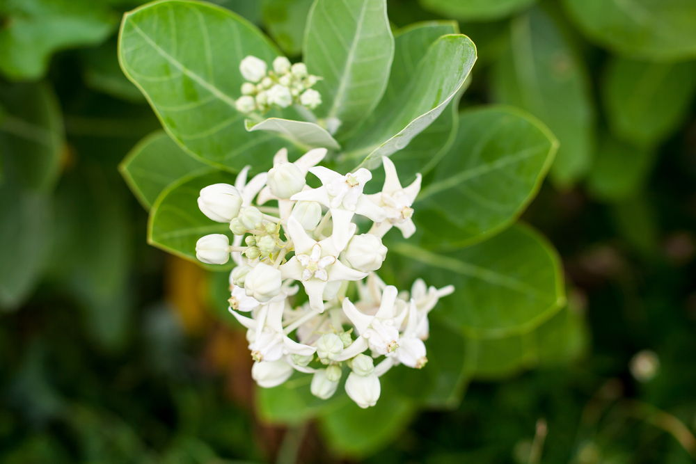 मदार के पौधे और फूल
