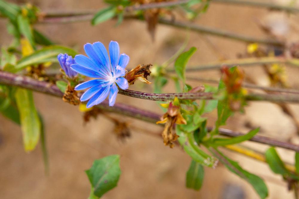 Cichorium Intybus Kasani