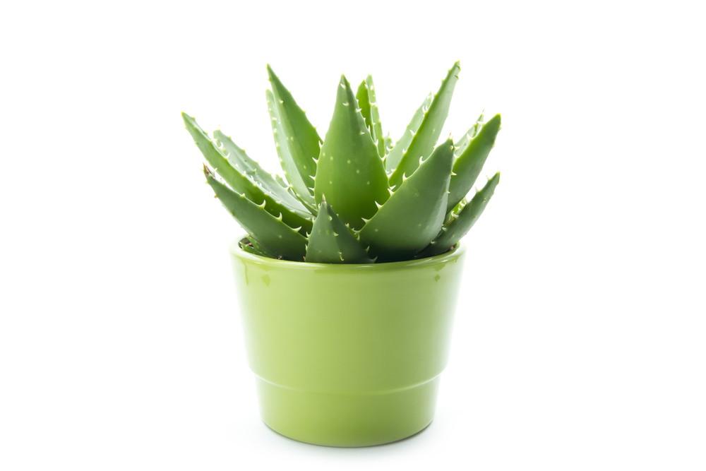 ऐलो वेरा का पौधा