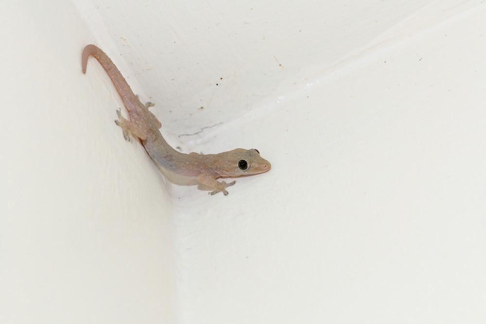 House Lizard