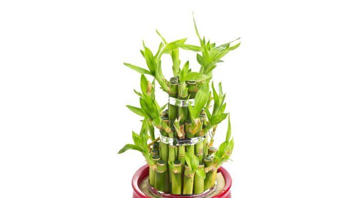 सकारात्मक ऊर्जा के लिए Lucky bamboo plant