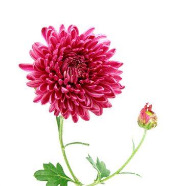 गुलदाउदी का फूल