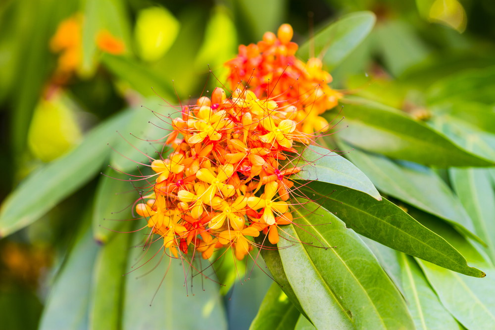 अशोक के फूल