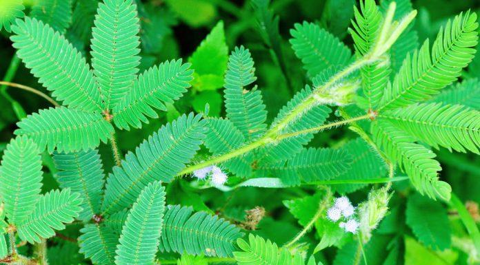 छुई-मुई का पौधा