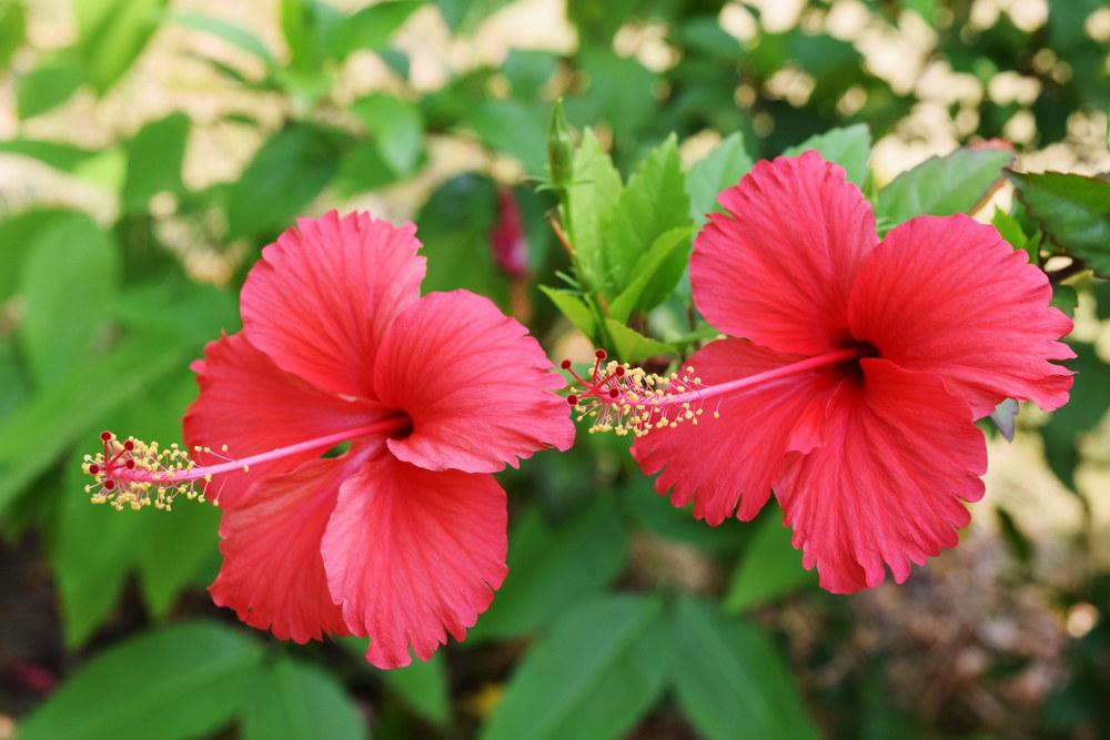 गुड़हल के फूल