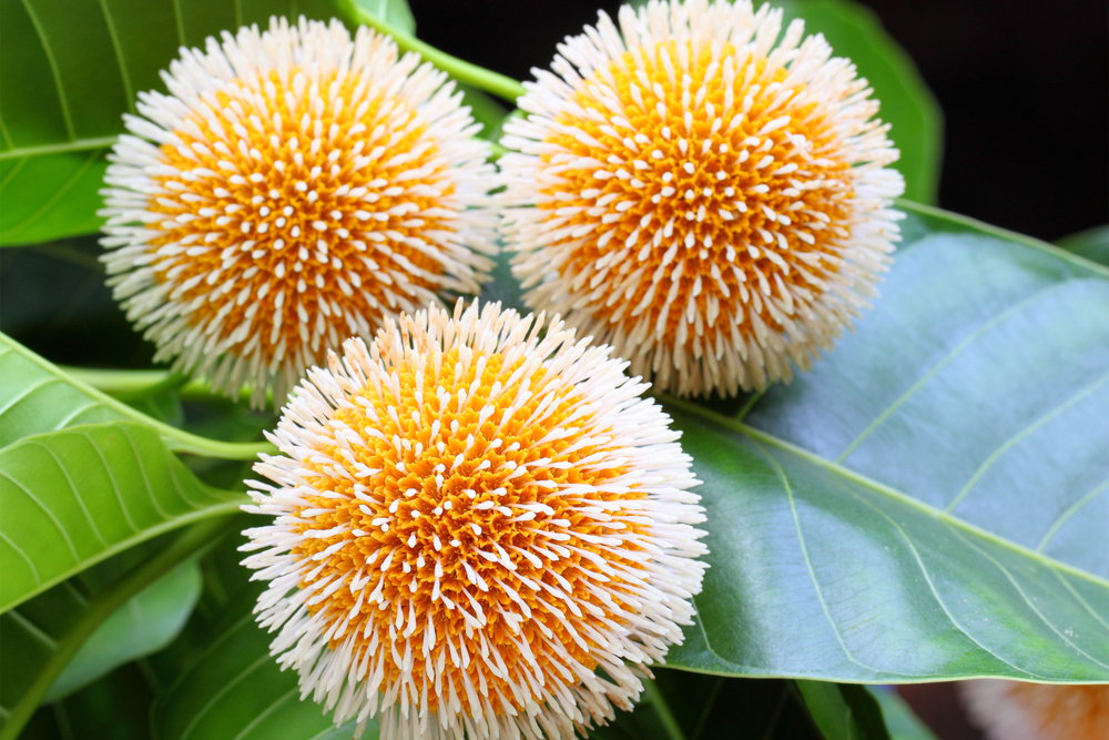 कदम्ब का फूल और फल