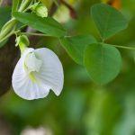 Aparajita Plant