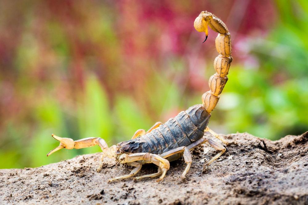 Attacking scorpio bite