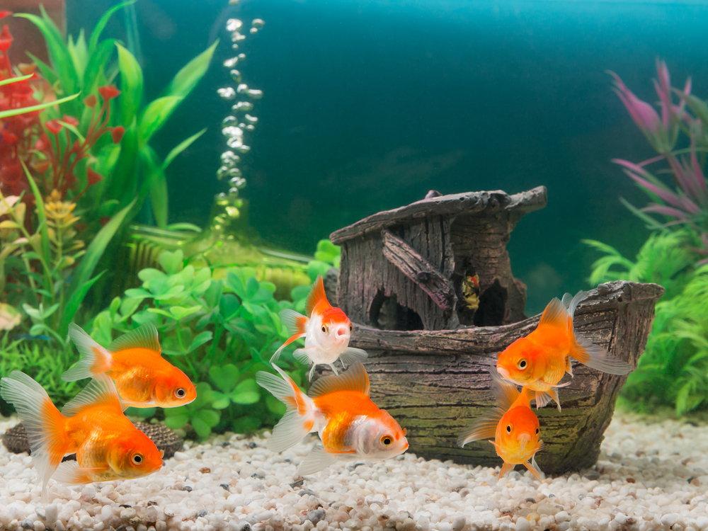 फिश टैंक में मछलियों की देखभाल