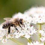 Honey bee bite