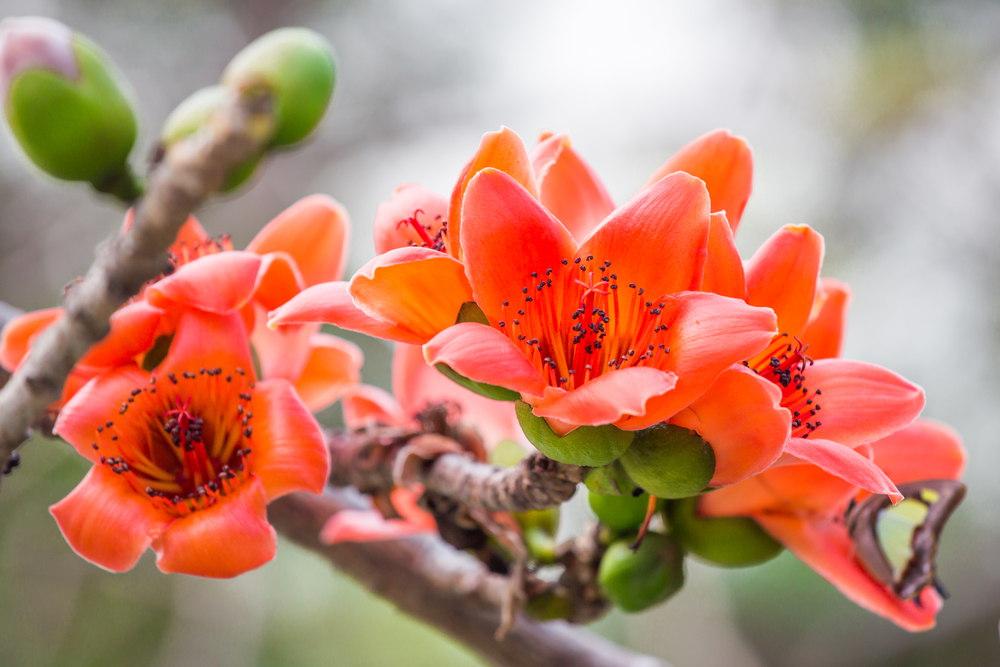 सेमल के लाल फूल