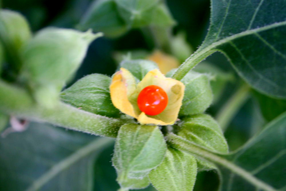 Withania fruit