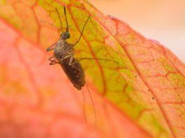 डेंगू बुखार घरेलू उपचार