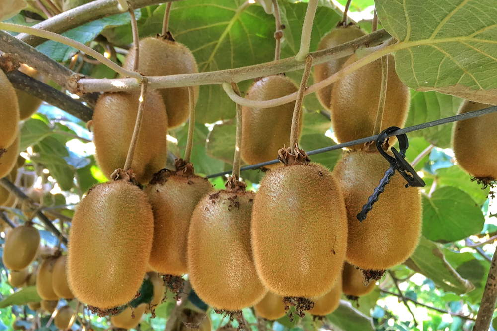 Kiwi fruits on branches