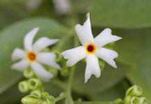 पारिजात के फूल