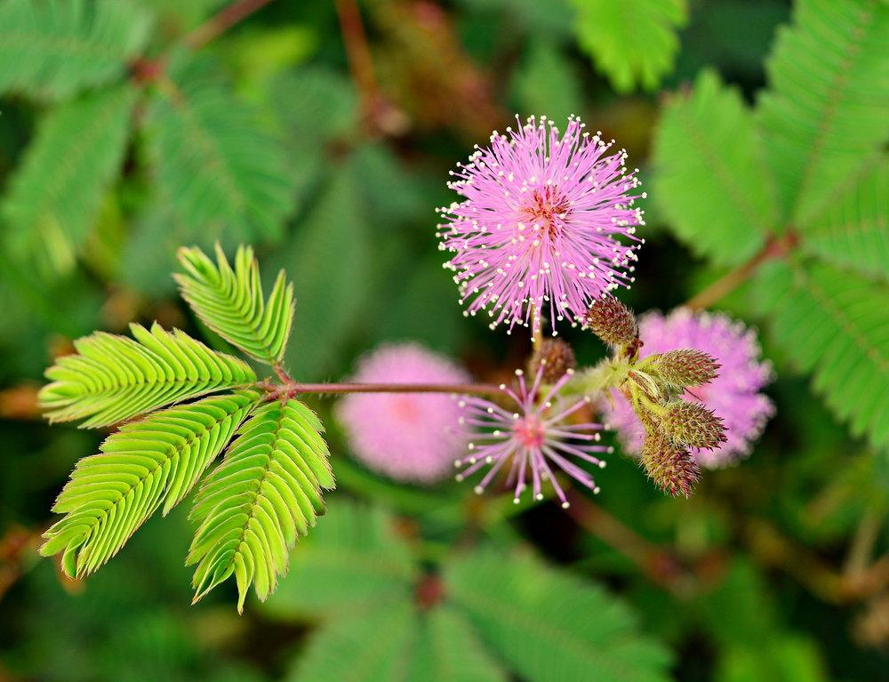 छुई-मुई का फूल