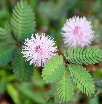 छुई-मुई की फूल और पत्तियां