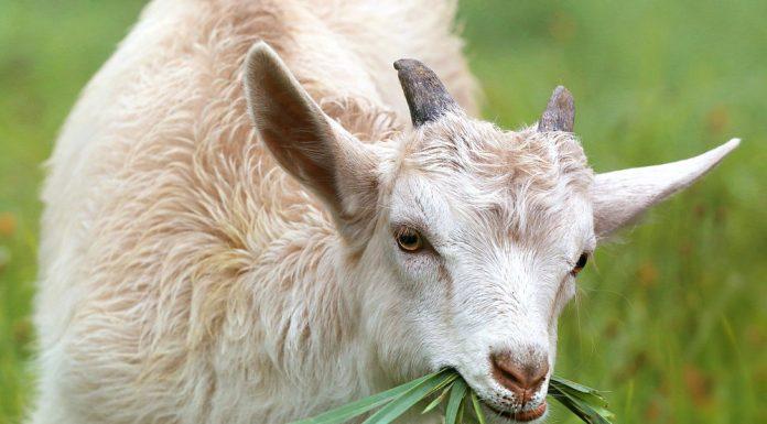 बकरी के दूध के लाभ