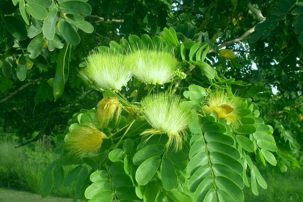 शिरीष वृक्ष