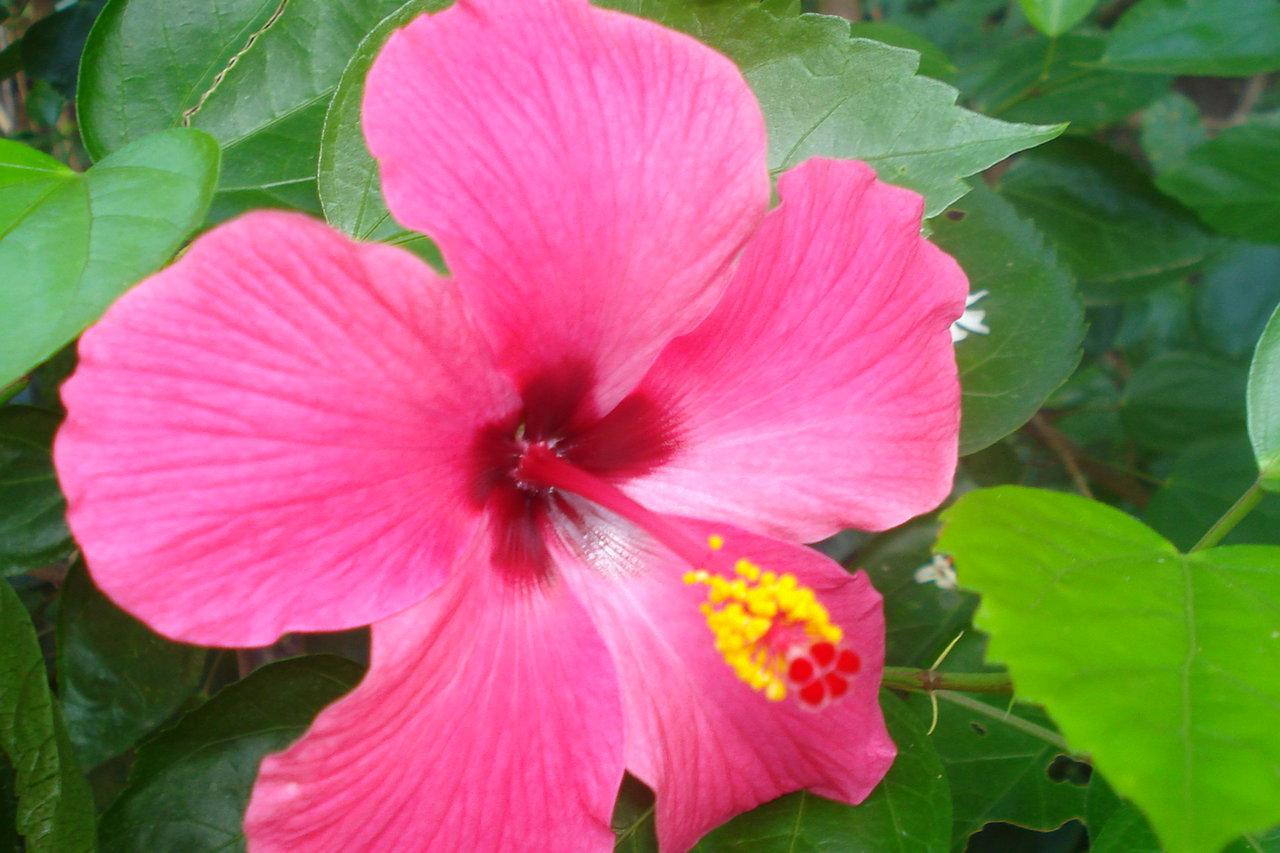 गुड़हल का फूल गुलाबी