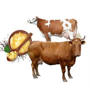 गाय के पुराने घी के फ़ायदे