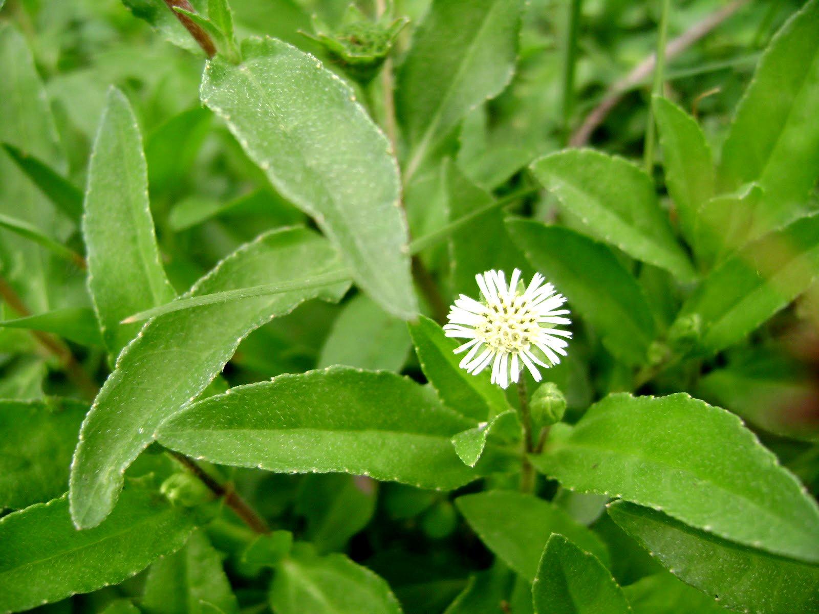 false daisy plant