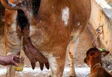 गोमूत्र गौमूत्र गौ जल गाय का मूत्र
