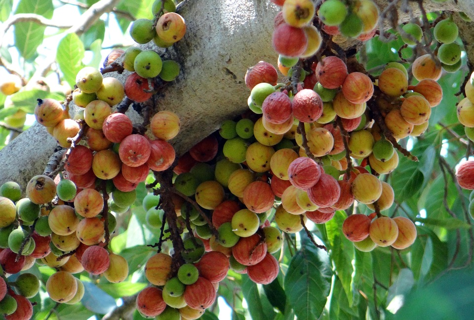 Image result for गूलर (Cluster Fig Tree)