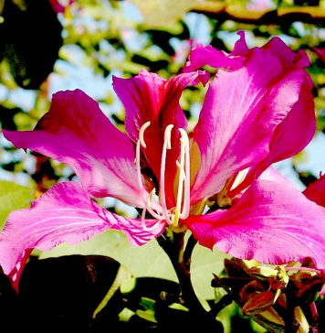 कचनार का फूल