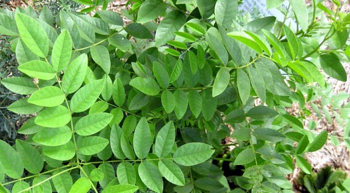 मुलेठी का पौधा