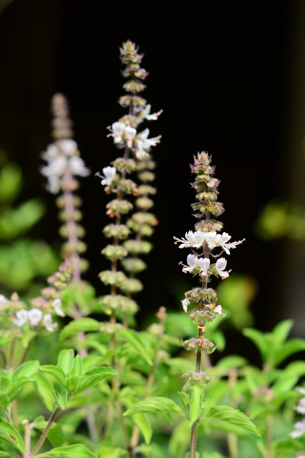 तुलसी के फूल