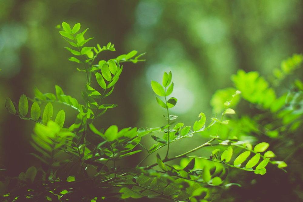 acacia babul ke fayde